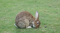 Gray bunny in the field eating grass 4K 3840X2160 UltraHD footage -  Hare enj Stock Footage