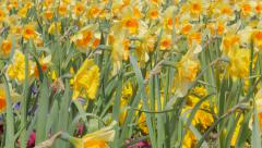Narcissus pseudonarcissus flower field slow waving by the wind 4K 2160p Ultra Stock Footage