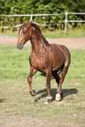 Proud Horse gallop free on meadow outside. Vertical - stock photo