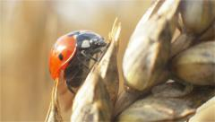 Ladybird walking on panicle of wheat in the macro mode and take off from the top Stock Footage