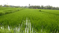 Rice paddy terrace, slide shot, cereal crops growing in straight rows Stock Footage