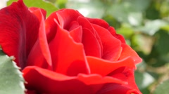 Rose flower buds  on windy day beautiful natural 4K  3840X2160 UltraHD video Stock Footage