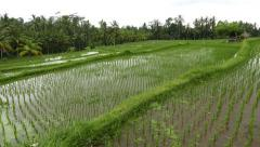 Rice paddy at mountain landscape, panning view of water field Stock Footage