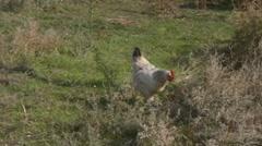 Ukrainian free range chicken Stock Footage