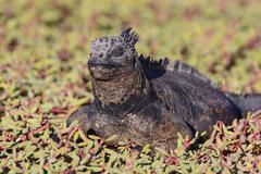 Marine Iguana Resting in Coastal Vegetation - stock photo