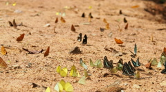 Stock Video Footage of Butterflies are eat mineral on the ground, Select focus, Camera panning.