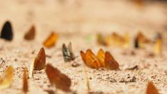 Butterflies are eat mineral on the ground. Select focus. Stock Footage