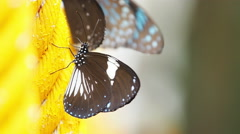 Butterflies are eat mineral. Stock Footage