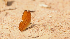 Stock Video Footage of Butterflies are eat mineral on the ground. Select focus.
