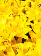 Beautiful bouquet of yellow lilies - stock photo