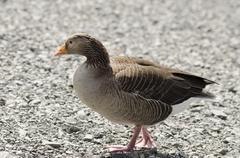 Stock Photo of Greylag goose