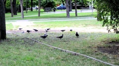Many pigeons in the Park eating mulberries Stock Footage