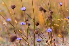 Blue wildflowers in the dry meadow Stock Photos