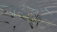 Damselflies are flying and copling in a pond Stock Footage