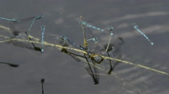 Damselfly, coupling  damselfly,  Lestes sponsa, laying eggs Stock Footage