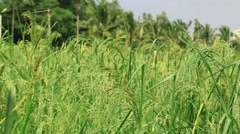 Little Millet Field from India Stock Footage