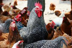 Chickens on traditional free range poultry farm. - stock photo