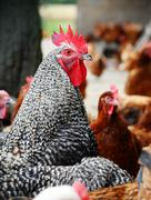 Stock Photo of Chickens on traditional free range poultry farm.