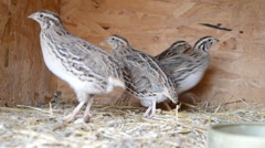 Stock Video Footage of Group of Japanese quails in a wooden cage