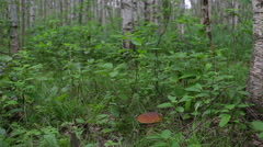 Porcini forest in the grass in birch forest Stock Footage