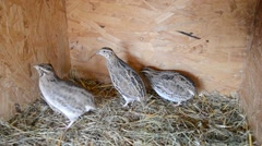 Group of Japanese quails in a wooden cage Stock Footage