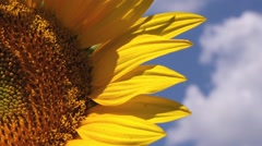 Beautiful Sunflower in Agricultural Field - stock footage