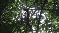 Squirrel paws up, branches Stock Footage