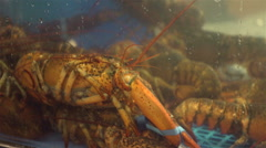 Live Nova Scotia lobster at the fish market. Stock Footage