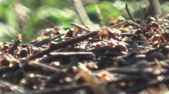 a large anthill, ants - stock footage