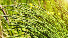 Closeup of wild grass on windy weather. Nature background - stock footage