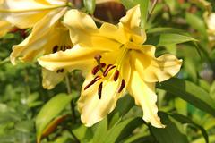 Yellow lilies blooming on a flowerbed Stock Photos