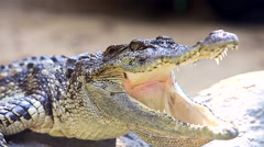 Crocodile close up with mouth wide open and lying in the sun Stock Footage