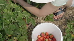 Woman picking strawberries at the local farm. Stock Footage