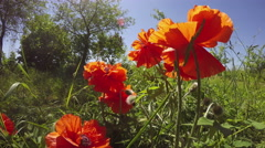 Beautiful spring poppy blossoms in garden and wind. 4K Stock Footage