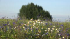 marguerites, cornflowers in farmland rapeseed field.  4K - stock footage