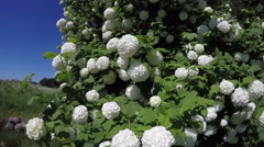 Beautiful spring viburnum snowball tree blossoms in wind. 4K Stock Footage