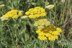 Yellow flowering yarrow (Achillea millefolium). - stock photo