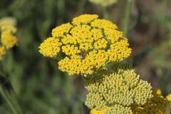 Yellow flowering yarrow (Achillea millefolium). - stock photo