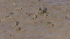 Small Crabs in Mud Stock Footage