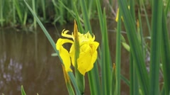 Close-up yellow iris flower by a river - stock footage