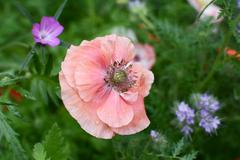 Delicate pale pink field poppy Stock Photos