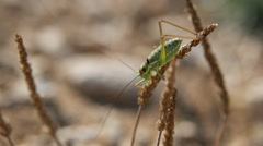 Green cricket beetle (Gryllidae) on dried stalk in wind Stock Footage