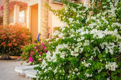 Stock Photo of White bougainvillea blooms in the garden