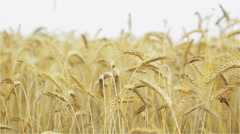 Barley, Food, Wheat, Field, Harvest, Grains Bustion Stock Footage