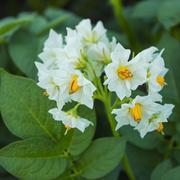 Beautiful white flower of potato - stock photo