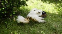 White pekingese lay in garden Stock Footage