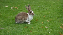 Hare cleaning himself outdoors in the field 4K 3840X2160 UltraHD footage  Stock Footage