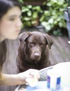 Chocolate Lab Begging and Waiting - stock photo