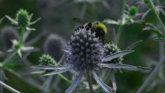 Bumblebee on the blue flower Stock Footage