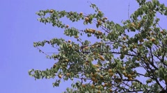 Branch with apricots Stock Footage